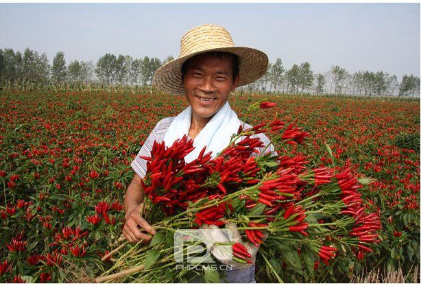 河南临颍县:50万亩辣椒映红了天